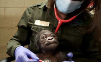 This cute little guy Monkey face is the first male baby gorilla born at Franklin Park Zoo in Boston, USA.